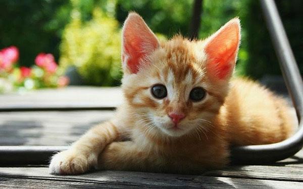 thuyet minh ve con meo - Thuyết minh về con mèo