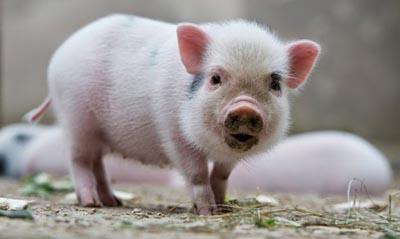 van mau ta con lon nha em Văn mẫu tả con lợn nhà em hoặc nhà hàng xóm